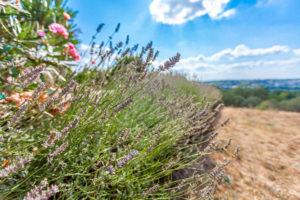 Floraison plateau Valensole